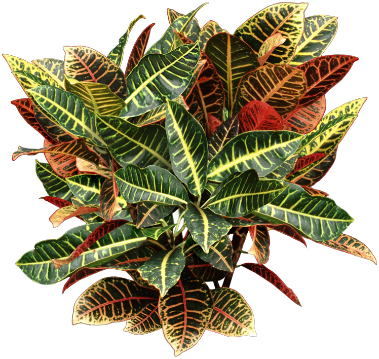 Croton Plant Houseplant Care And Identification