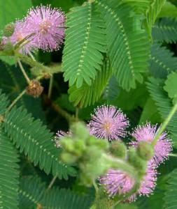 Lavendar Sensitive Mimosa plant