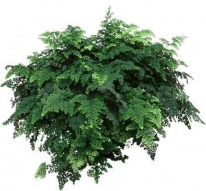 Dark green Maiden Hair Fern