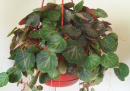 Bluish-green, fuzzy Strawberry begonia Plant