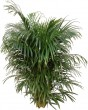 Full bushy Areca Palm Plant