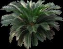 sago-palm-plant