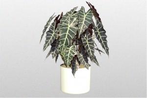 Dark green, white veined leaves on Alocasia plant