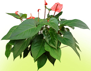 Anthurium Plant with red heart-shaped flowers