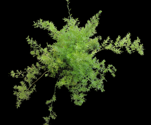 Green fronds on Asparagus Fern Plant