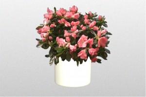 Pink flowers on Azalea Plant
