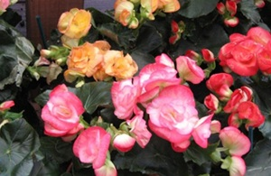 Flowers on bloming Begonia plant