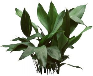 Dark green Cast Iron Plant