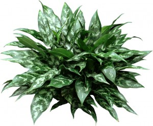 Green and white Chinese Evergreen palnt