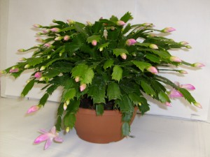 Pink Christmas Cactus plant
