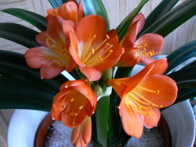 Orange Clivia Plant