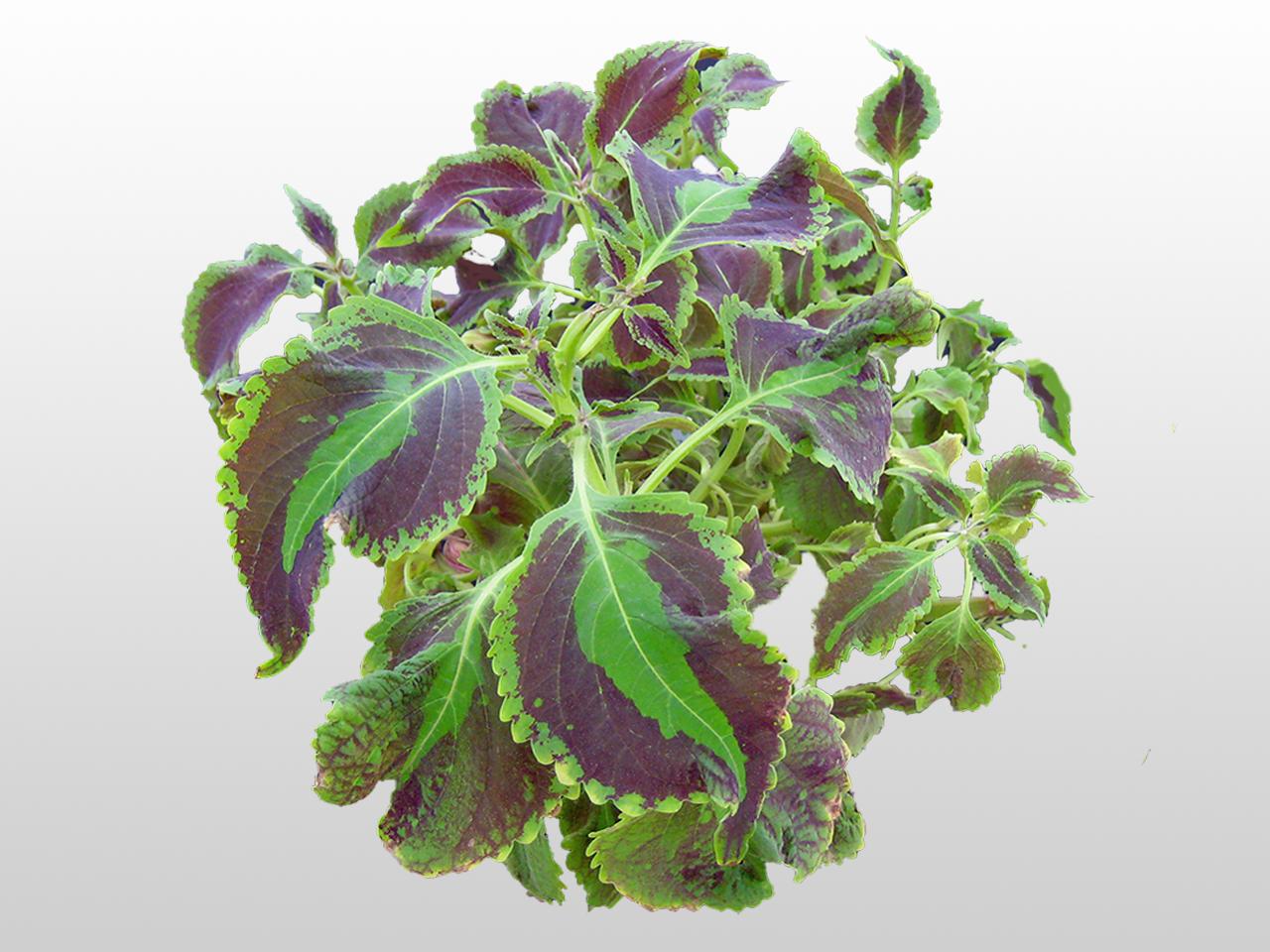 green and purple coleus plant