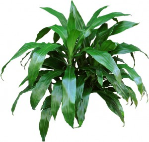 Dark green Dracaena Janet Craig Plant.
