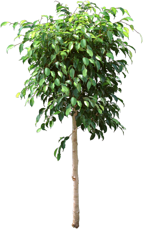 Green Ficus Benjamina Tree