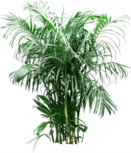 Multiple feathery green fronds on Bamboo Palm Plant
