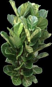 Green, leathery Ficus Lyrata