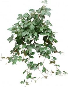 Green hanging Grape Ivy Plant