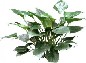 Dark Green Emerald Gem Plant