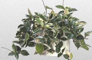Green and white Hoya Plant