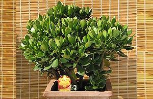 Succulent green Jade Plant