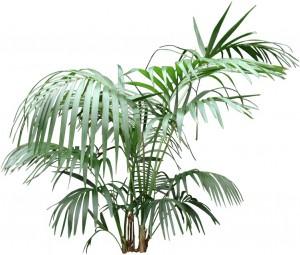 Tall green kentia palm