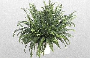 Green Kimberly Queen Fern