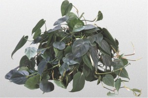 Dark green Philodendron Heart Leaf Plant.
