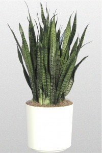 Pointed thick leafed Sansevieria