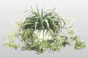 Green and white long striped leaves on Spider Plant