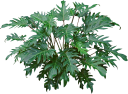 Green lobed leaf Philodendron Xanadu