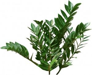 Low light, green ZZ Plant
