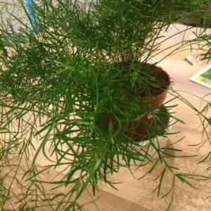 Needle like bright green asparagus fern