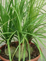 Green, thin leaves, swollen base Pony Tail Palm