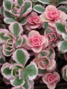 Pink, green, and white sedum spurium tricolor