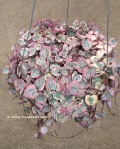 Pink and green String of Hearts plant